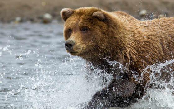 медведь, браун, zhivotnye, реке, медведи, water, ухмылка, собаки, смотрит,
