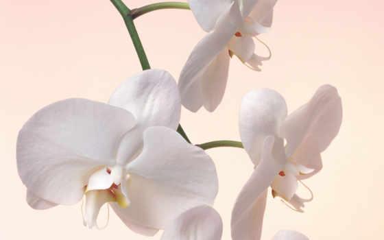 цветы, орхидеи Фон № 8127 разрешение 1920x1200