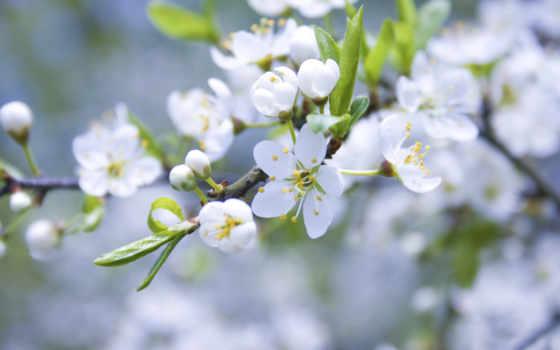 цветы, белые, яблоня, цветение, branch, лепестки, бутоны, весна,