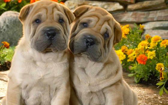 собак, породы, собаки, шарпеи, пород, собака, той, чау, гладкошерстные, video,
