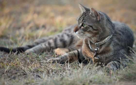 серый, кот, лежит, взгляд, kot, траве, разных, ошейник, разрешениях,