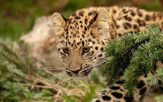 леопард, evergreen, молодой, леопарда, desktop, детёныш, страница,