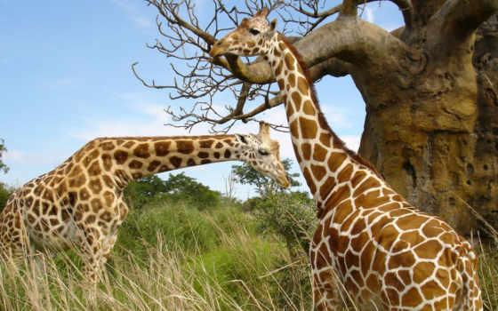 giraffen, tiere, pastagens, papéis, parede, girafas, nas, animals,