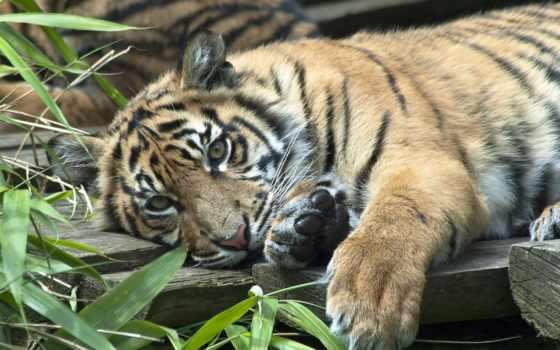 тигр, суматранский Фон № 19354 разрешение 1920x1200