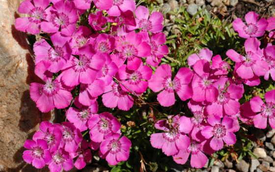 dianthus, розовый, цветы