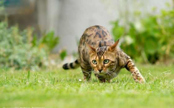 кошка, бенгальская, домашняя, дикой, кошки, году, шубке, выведена, леопарда, сша, сочетание,