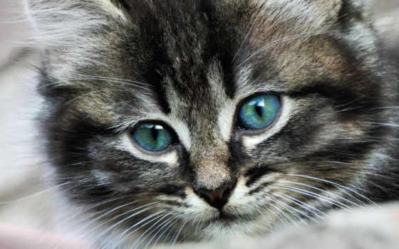 кот, свет, голубые