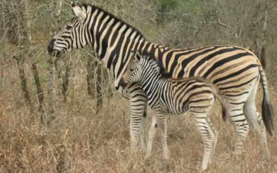 zebra, smartphone, fondos, abyss,