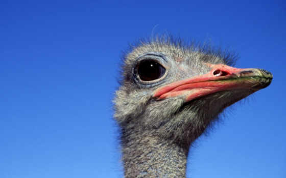 ostrich, страусы, страусов