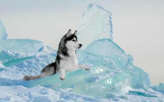 животное, собака, хаска, февраль, льдина, лежат, sorevnovanie, зимний, красивый, siberian, хаски