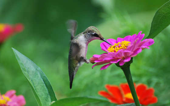 similar, birds, flowers, picture, hummingbirds,