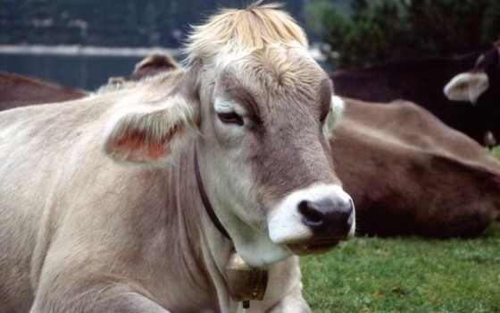скота, крупного, рогатого, торговом, купить, портале, хотите, предложения, оптовой, крс, allbiz,