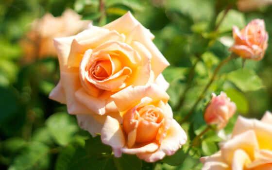 оранжевые, розы, цветы