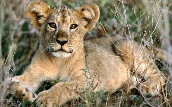 lion, african, детёныш