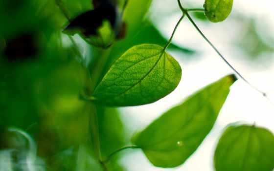 листья, дек, зеленые