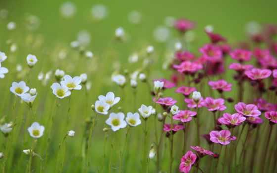 цветы, белые, розовые Фон № 50833 разрешение 1920x1080