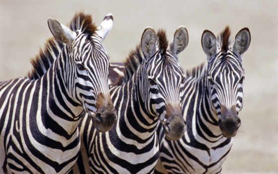 zhivotnye, зебры, африка, африки, вышивки, схему, zebra, цветную, нравится, pdf,