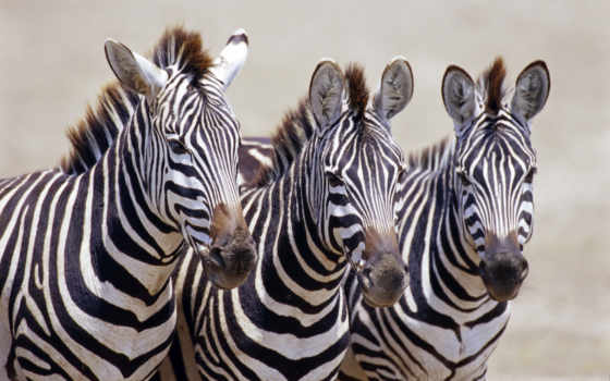 zhivotnye, зебры, африка