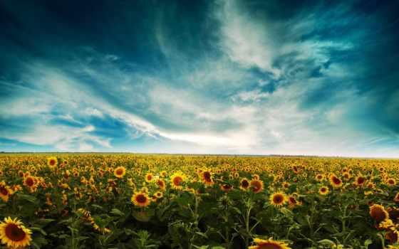 поле, небо, подсолнухи, oblaka, summer, желтые,