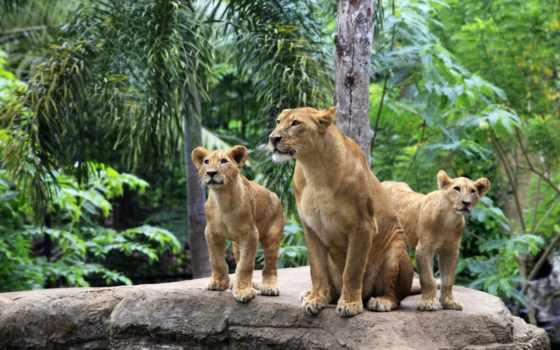 львица, львята, lion, львы, семья,