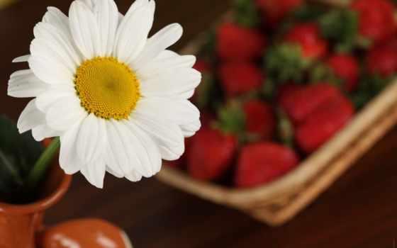 ромашки, макро, цветы