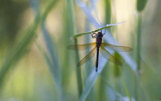 ,стрекоза,травинка,насекомые