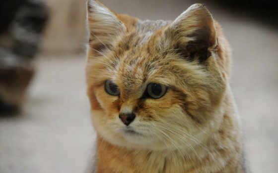 кот, пустыня, порода
