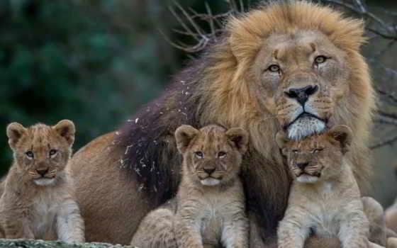 lion, львята, browse