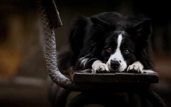 border, tapety, колли, pies, smutny, pulpit, ławka, darmowe, które, wysokiej,