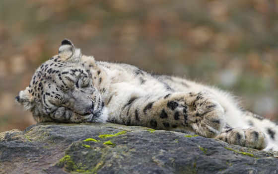 леопард, снег, кот, tambako, jaguar, sleeping,