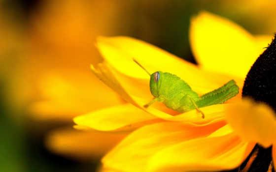 кузнечик, desktop, фон, free, grasshoppers,