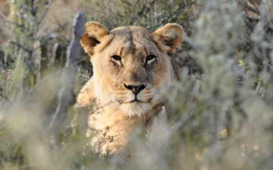 lion, animal, desktop, свободно, ноутбук, первую, августа, moderaciya, фон, explore, resolution