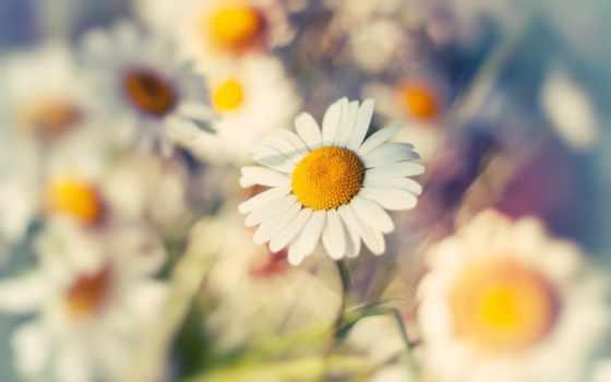 ромашка, макро, цветок