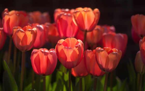тюльпаны, цветы, red