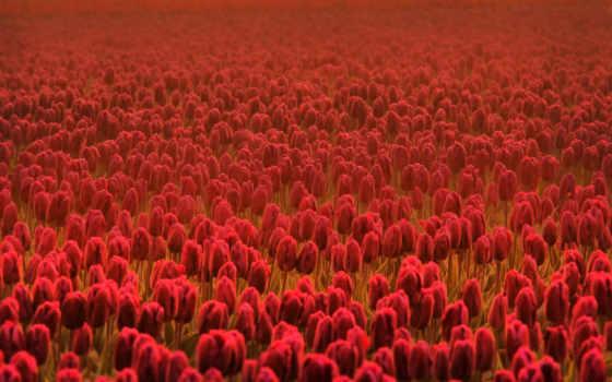 цветы, весенние, тюльпаны