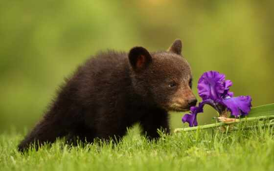 анимации, медведь, eclipse, луна, медведи, нюхает, цветы, гиф, анимация, гифки,