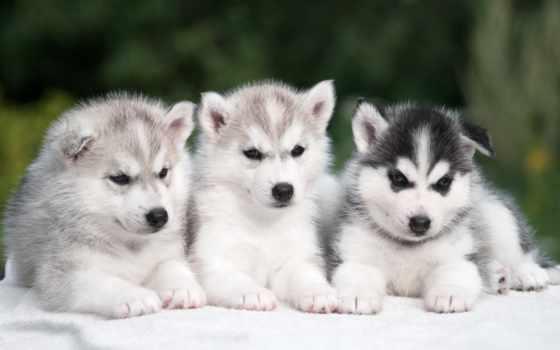 хаски, трио, красивых, высоком, разрешений, positive, количество, собаки,