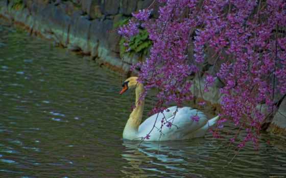 times, картинок, страница, фото, лебеди, swans, фотоподбоpкa,