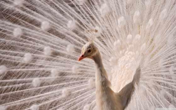 zhivotnye, альбиносы, природа, обделила, шерсти, глаз, которых, белоснежные, кожи, reason, называются,