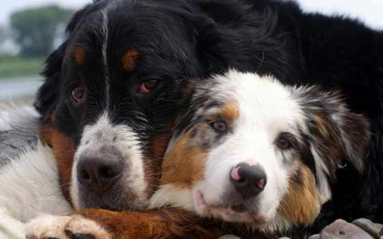 australian, собака, овчарка