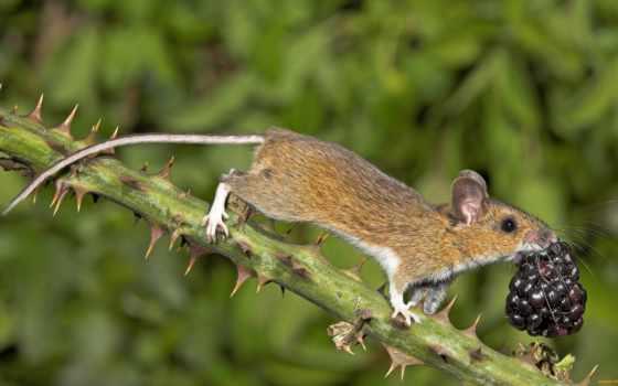 mouse, лесная, животных, тела, apodemus, uralensis, фотографий, конкурса, малая, млекопитающие,