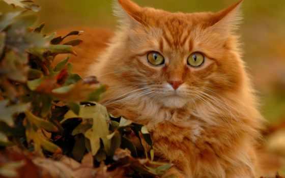 red, кот, взгляд