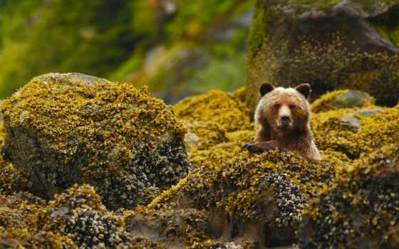 медведь, great, rainforest, grizzly, columbia, british