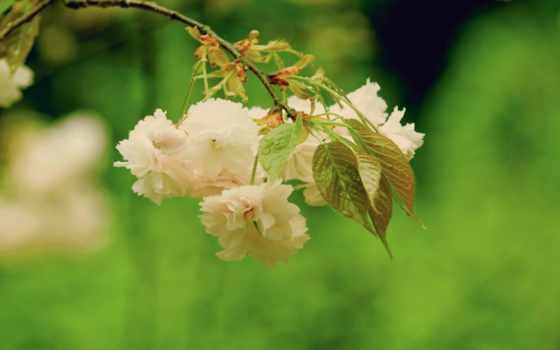 яркий, Сакура, такое, bloom, японии, peak, архива,