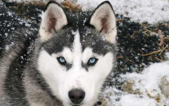 хаски, глаз, волк, глазами, охота, голубыми, так, сибирский,
