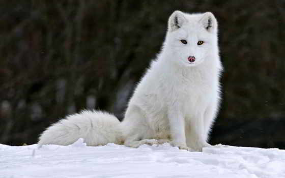 arctic fox, высоком, фокс, white, пушистый, смотрит, снегу, сидит,