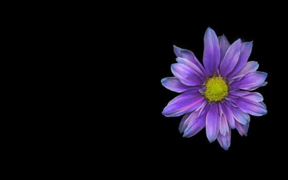 цветы, purple, flowers, black, фон, free, desktop, природа, daisy,