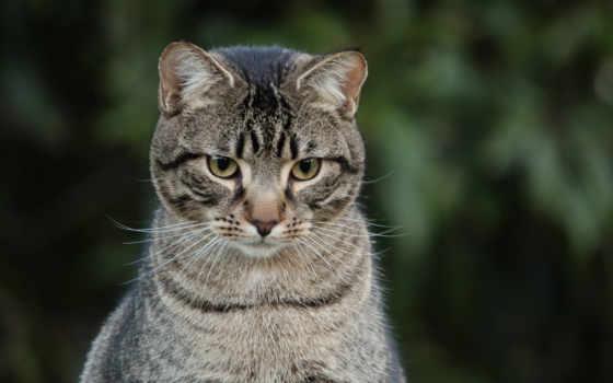 кот, серый, взгляд, striped,