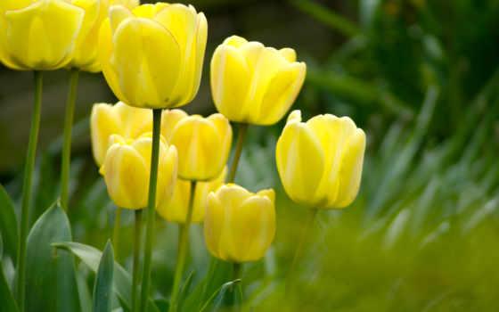 тюльпаны, цветы, цветов