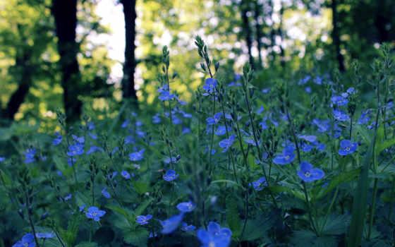 azul, flores, campo, задумчивость, природе, primavera, imágenes, cvety, весна, блики, fondos,